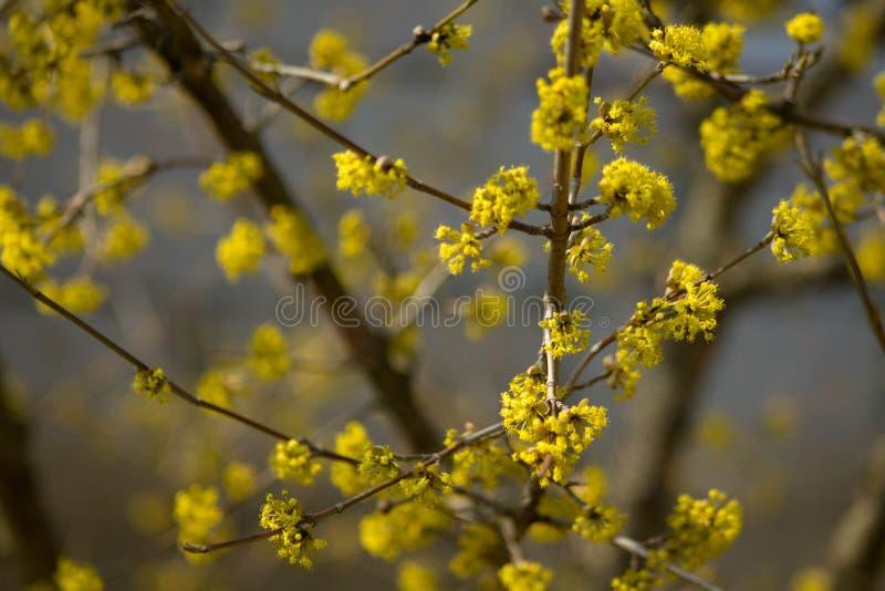 Arbre jaune de fleur au printemps photographie stock libre de droits
