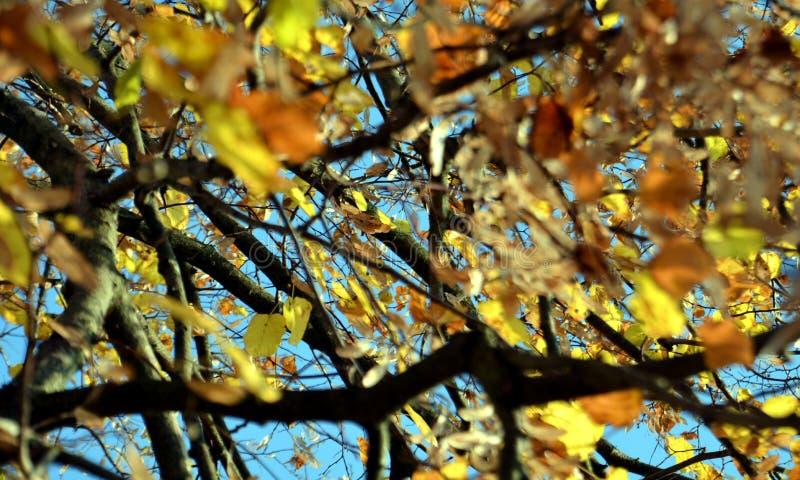Arbre jaune orange, feuilles sèches et ciel bleu, fond naturel brouillé d'automne d'écologie photo stock