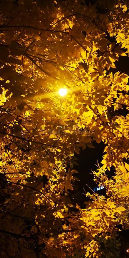 Arbre jaune pendant la nuit image libre de droits