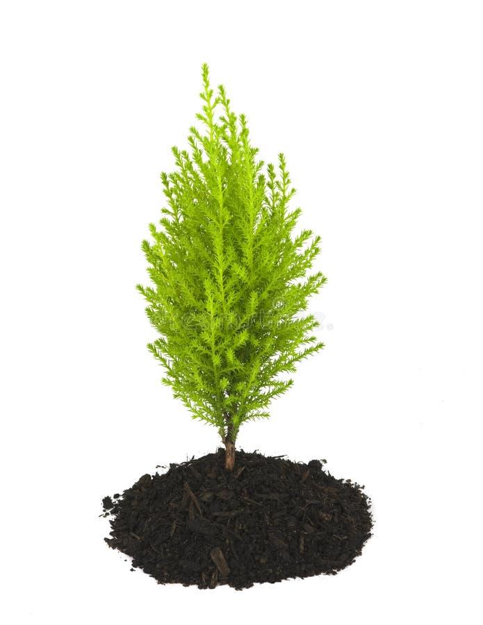 Arbre jeune de pin de Cypress s'élevant hors de la saleté photos stock