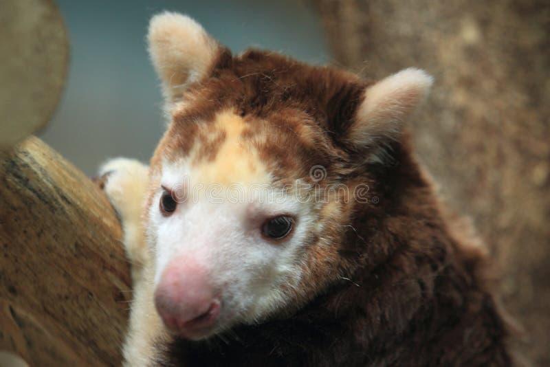 Arbre-kangourou de Huon photo libre de droits