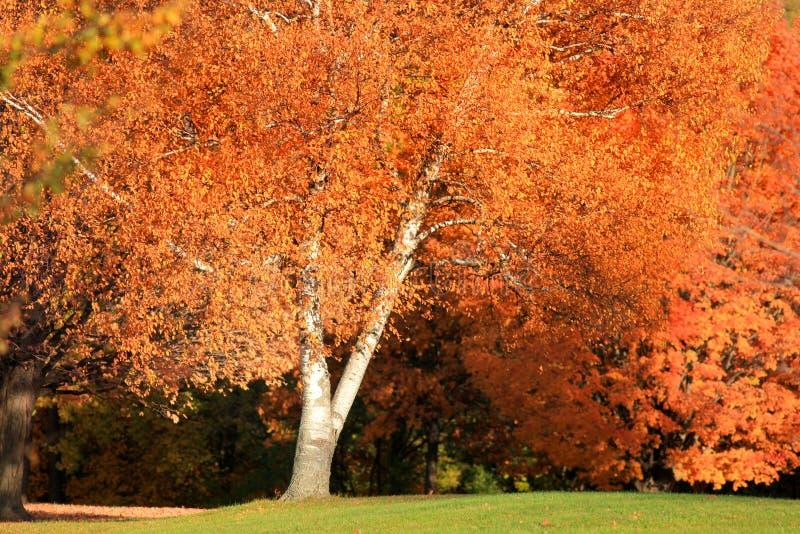 Arbre lumineux d'automne images libres de droits