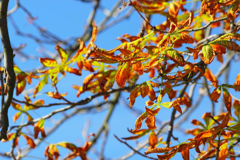 Arbre lumineux de marron d'Inde de feuilles d'automne photos stock