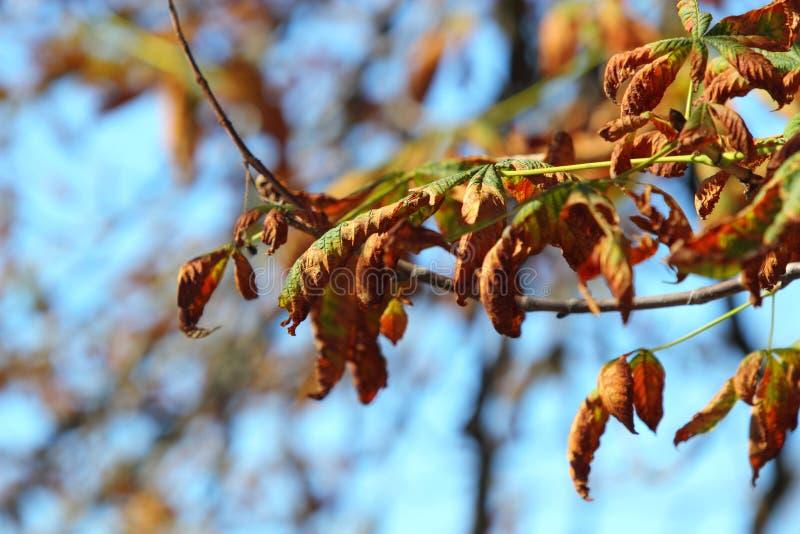 Arbre lumineux de marron d'Inde de feuilles d'automne photographie stock