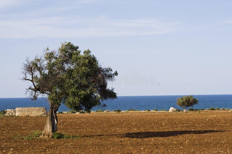 Arbre méditerranéen. image stock