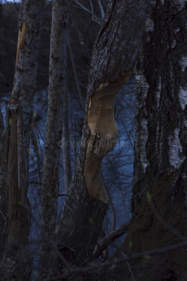 Arbre mangé par des castors, à côté d'une rivière en Suède du nord Rivière évidente à l'arrière-plan photo libre de droits