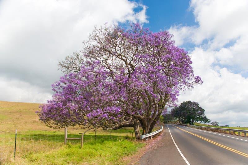 Arbre Maui de Jacaranda image stock