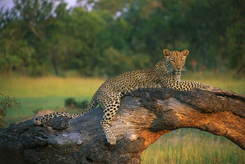 arbre menteur de tronçon de léopard photo libre de droits