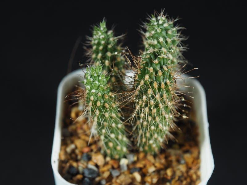 Arbre minuscule de cactus images libres de droits