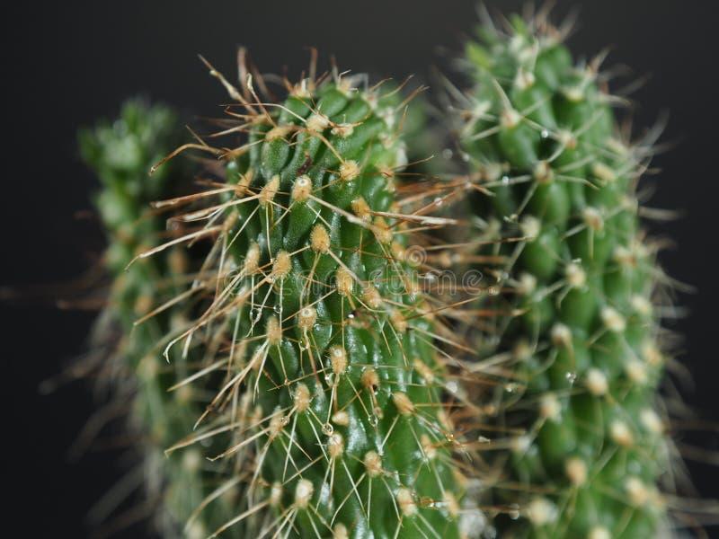 Arbre minuscule de cactus photo libre de droits