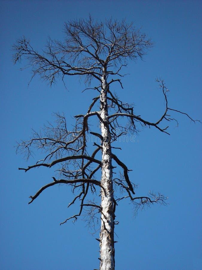 Download Arbre mort image stock. Image du forêt, ciel, arbre, bleu - 728217