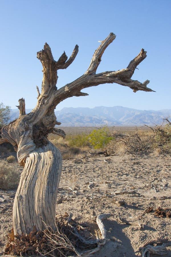 Arbre mort de peuplier en sable près des dunes de sable dans Death Valley calorie photographie stock libre de droits