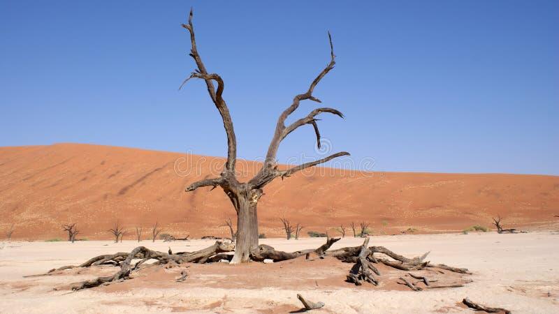 Arbre mort de Vlei dans le désert de Namib photo stock