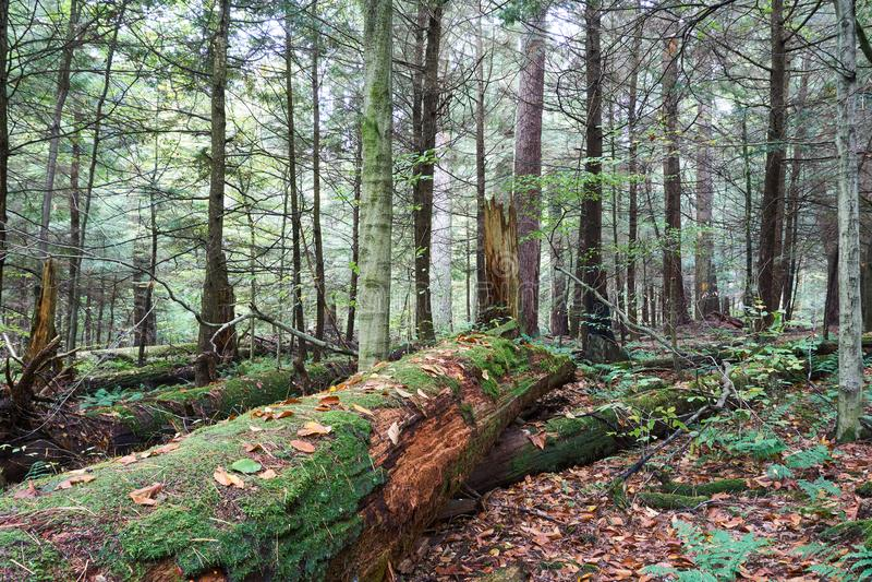 Arbre mort moussu sur Forest Floor images stock