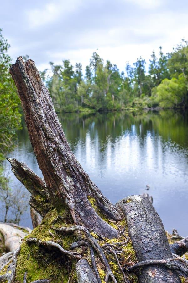 Arbre mort par un lac image libre de droits