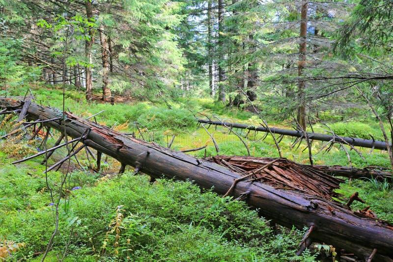 Arbre mort parmi la mousse verte dans la forêt images libres de droits