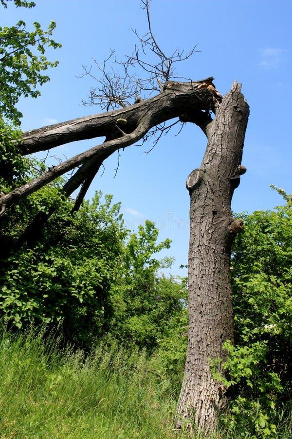 Arbre mort sérieusement cassé en parc avec des buissons autour photo libre de droits