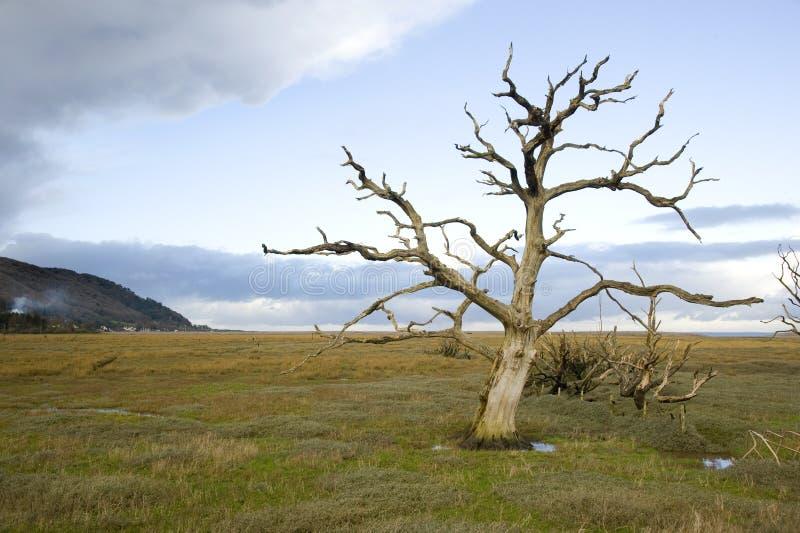 Arbre mort sur les marais photographie stock libre de droits