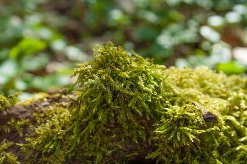 Arbre moussu dans les bois photos stock