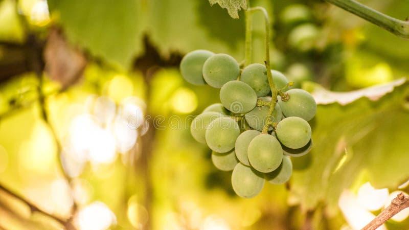 Arbre non mûr de raisins - fruit image stock