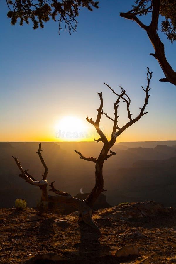 Arbre noueux au coucher du soleil de Grand Canyon images libres de droits