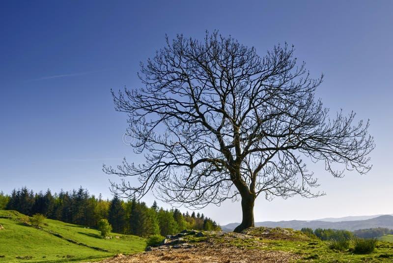 arbre nu de campagne images libres de droits