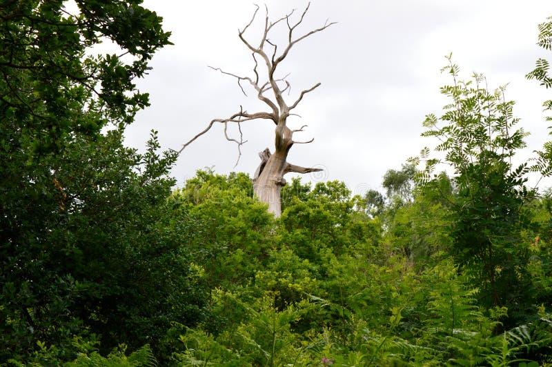 Arbre nu Sherwood Forest photographie stock libre de droits