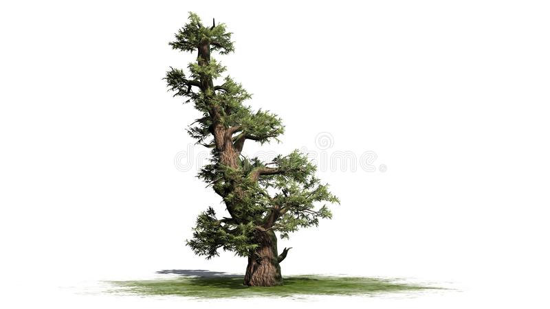 Arbre occidental de genévrier illustration stock