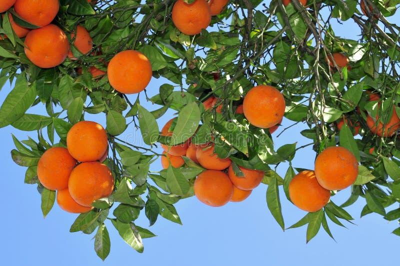 Arbre orange image libre de droits