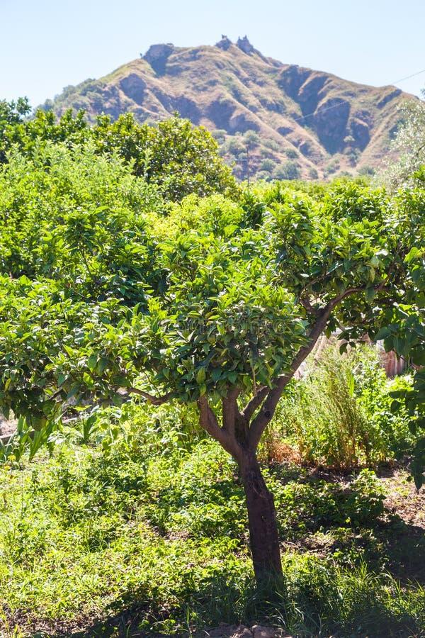Arbre orange dans le jardin en Sicile photo libre de droits