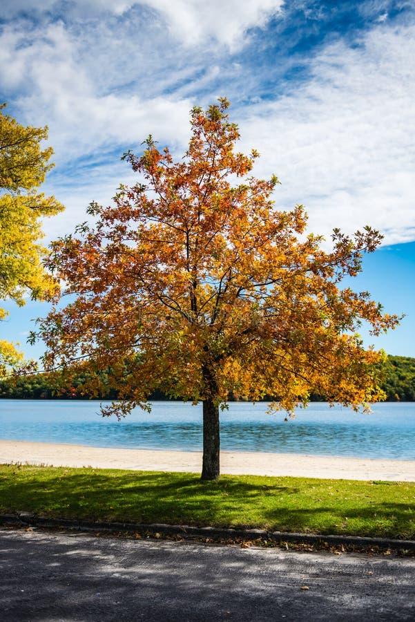 Arbre orange - parc d'état de Taghkanic de lac - Ancram, NY photographie stock libre de droits