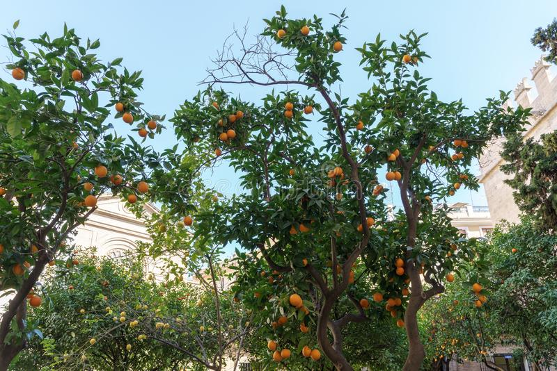 Arbre orange s'élevant sur le marché en soie en Valencia Spain le 27 février 2019 photos libres de droits