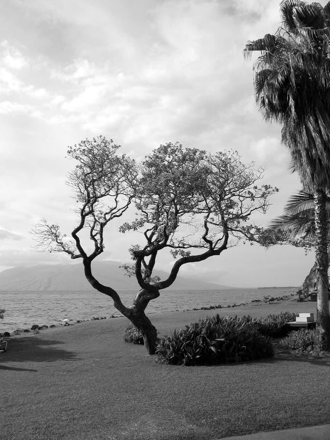 Arbre par l'océan photographie stock libre de droits