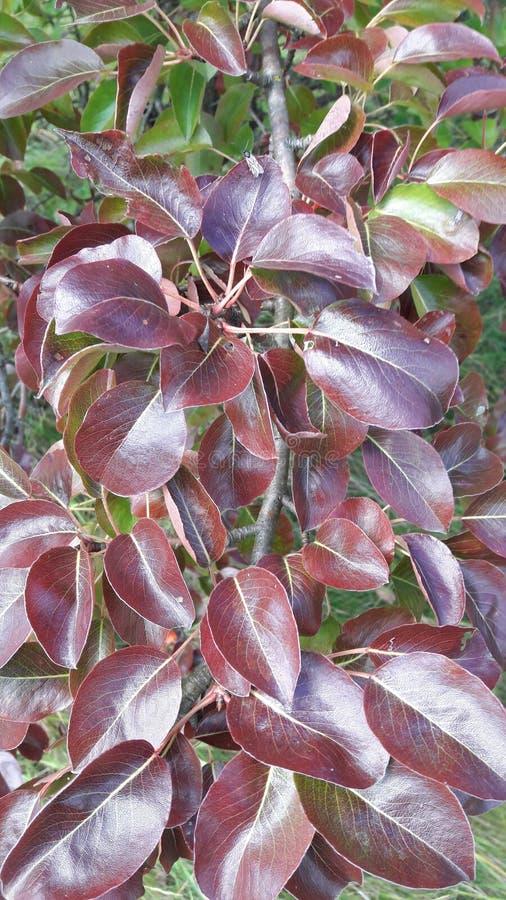 Arbre poussé des feuilles rouge photo libre de droits
