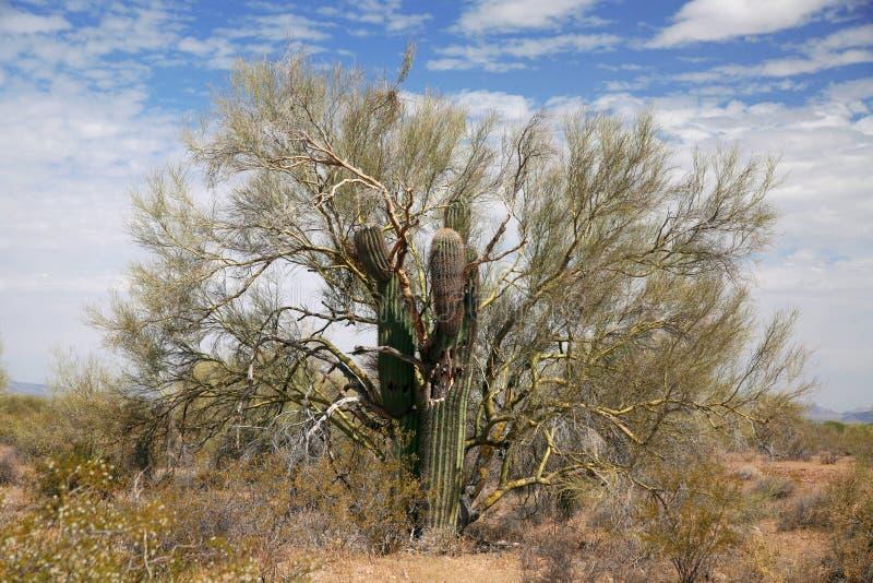 Arbre pris par cactus de Gigant photos libres de droits