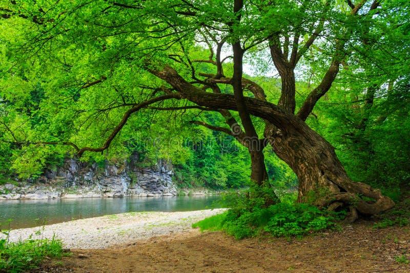 Arbre puissant près de la rivière rocheuse images stock