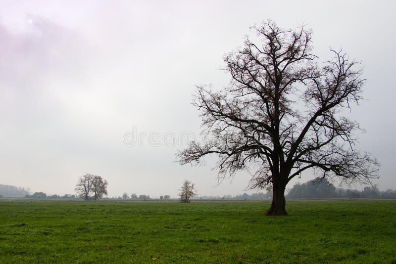 Arbre puissant sur des pâturages dans le matin brumeux d'automne photo stock