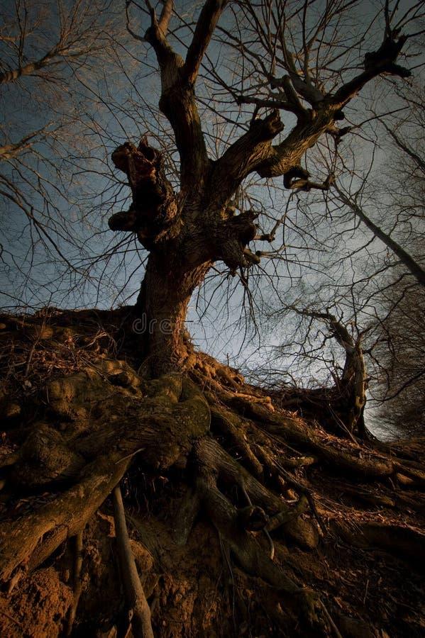 Arbre rampant foncé avec de grandes racines au coucher du soleil photographie stock