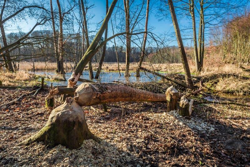 Arbre rongé par des castors dans les bois à la mare photos stock