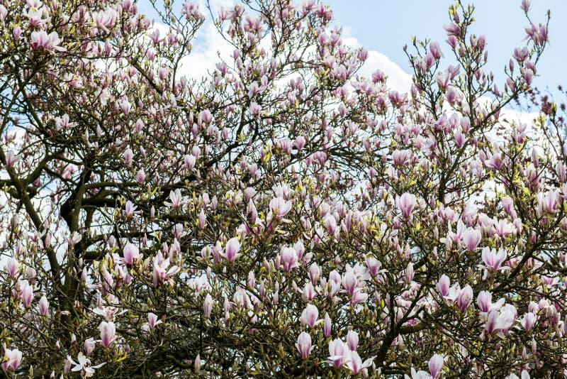 Arbre rose-clair de magnolia photos libres de droits