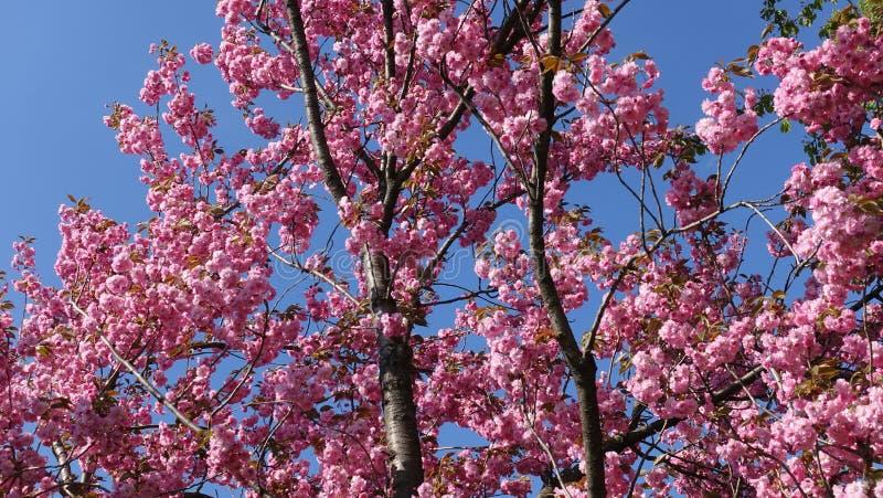 Arbre rose fleurissant de Sakura image stock