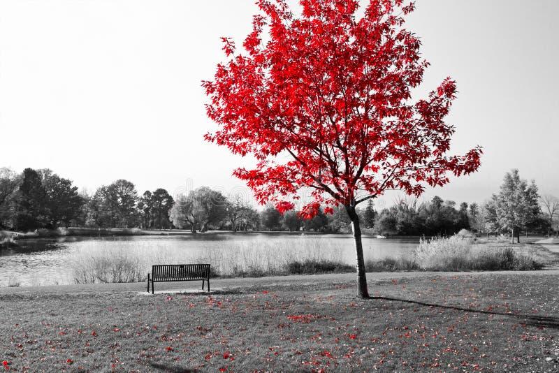 Arbre rouge au-dessus de banc de parc photo stock