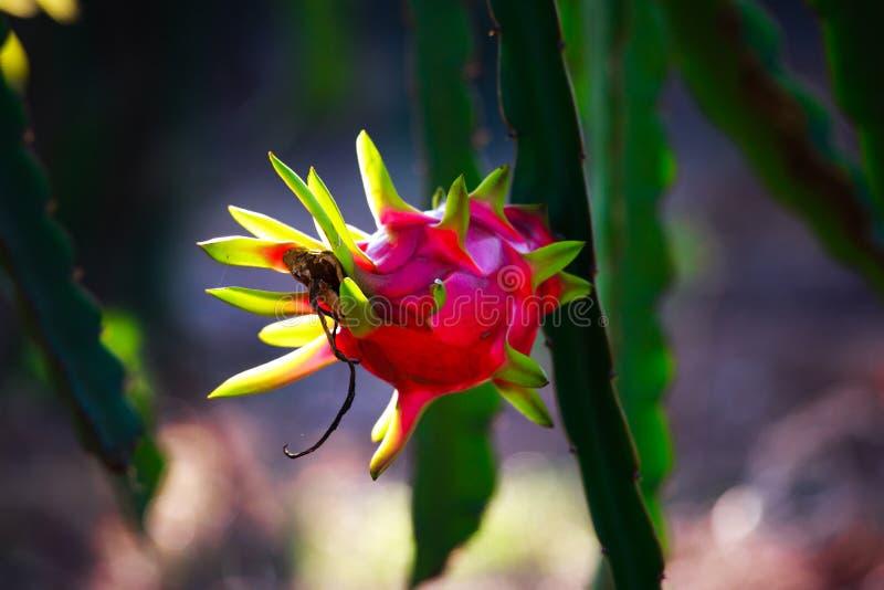 Arbre rouge de fruit du dragon dans le jardin image stock image du frais bizarre 59666795 - Arbre fruit du dragon ...