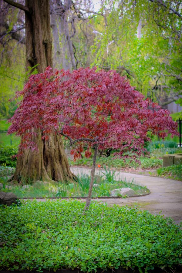 Arbre rouge le parc photographie stock