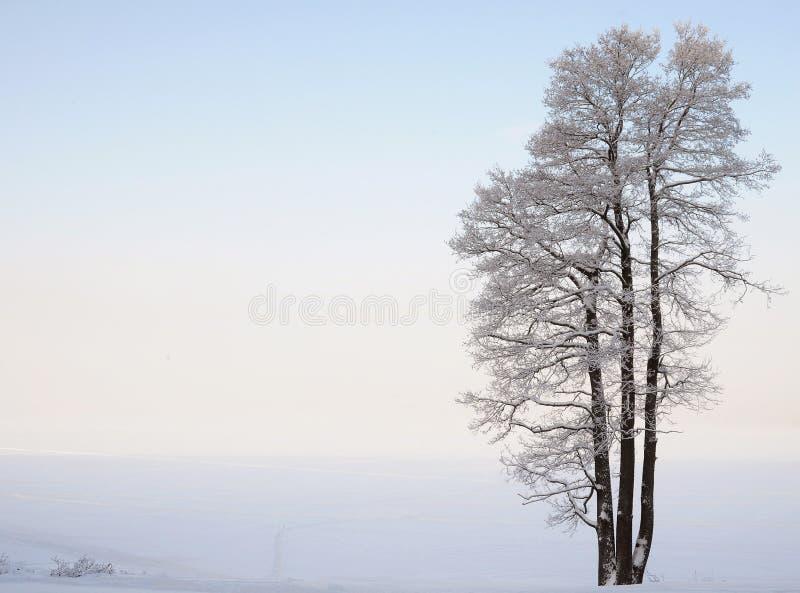 Arbre séparément debout près du lac en hiver images libres de droits