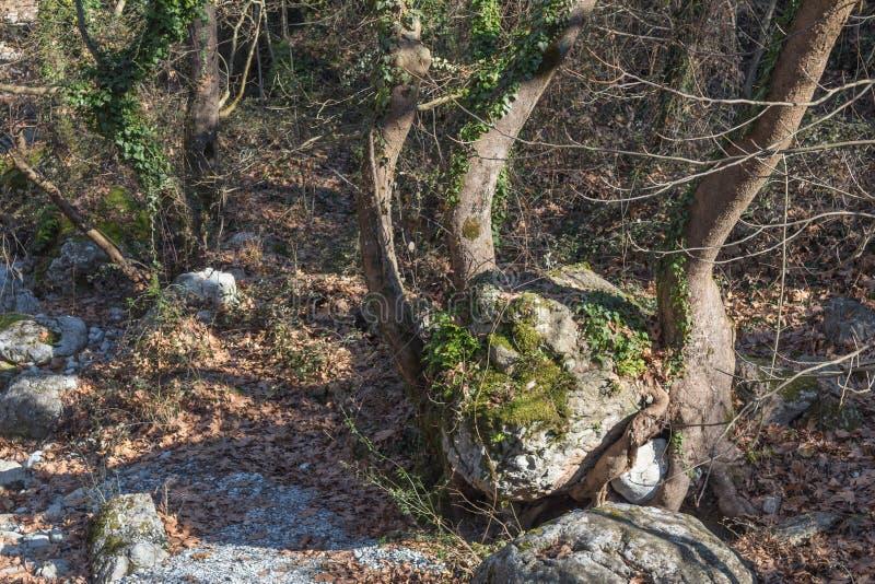 Arbre s'élevant autour d'une roche énorme image libre de droits
