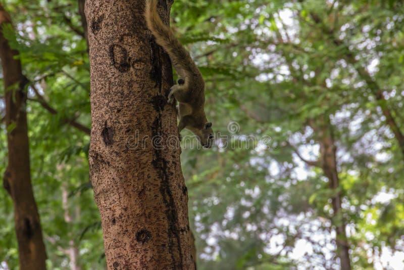 Arbre s'élevant d'écureuil avec le fond de tache floue photo libre de droits