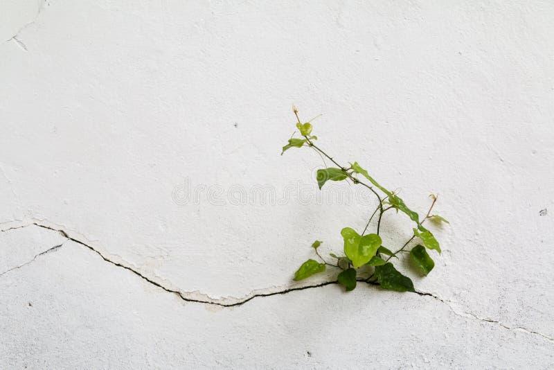 Arbre s'élevant par le mur criqué Petit arbre-pendant la croissance sur le mur de ciment Le vieux plâtre mure la fente criquée we images stock