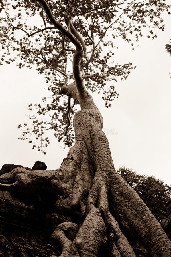 Arbre s'?levant sur Angkor Wat Temple image libre de droits