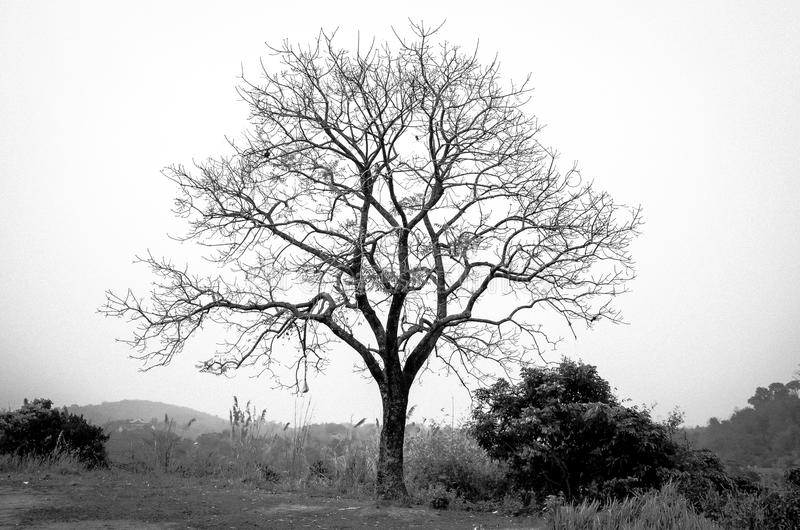 download arbre sans feuilles de branches noir et blanc image stock image du blanc - Arbre Sans Feuille